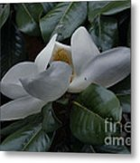 Magnolia In Full Bloom Metal Print