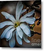 Magnolia Tree Blossum Metal Print