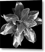 Magnolia Tree Leaves Metal Print