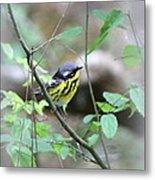 Magnolia Warbler - Bird Metal Print