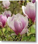 Magnolia X Soulangeana Flowers Metal Print