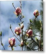 Magnolias In Bud Metal Print