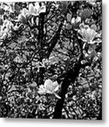 Magnolias In White Metal Print