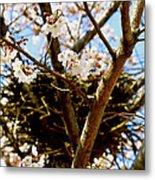 Magpie Nest In Cherry Tree Metal Print