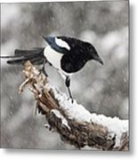 Magpie Out On A Branch Metal Print by Tim Grams