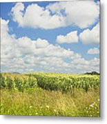 Maine Corn Field In Summer Photo Print Metal Print