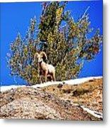 Majestic Big Horn Sheep Metal Print