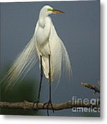 Majestic Great Egret Metal Print