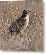 Majestic Harrier Metal Print