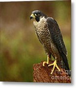 Majestic Peregrine Falcon In The Rain Metal Print by Inspired Nature Photography Fine Art Photography