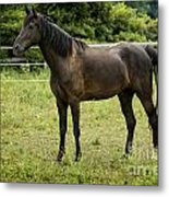 Majestic Stallion Horse In A Pasture Metal Print