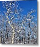 Majestic Sycamore In Winter Metal Print