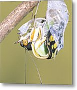 Malachite Butterfly Emerging 4 Of 6 Metal Print