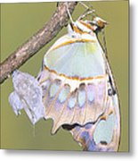 Malachite Butterfly Emerging 6 Of 6 Metal Print