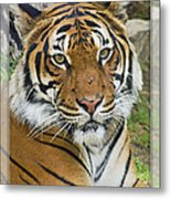 Malayan Tiger 1 Metal Print