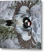 Male Acorn Woodpecker - Phone Case Design Metal Print by Gregory Scott