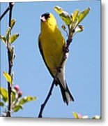 Male American Goldfinch Gathering Feathers For The Nest Metal Print