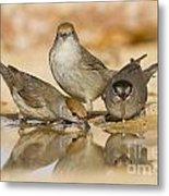 Male And Female Eurasian Blackcaps Metal Print