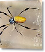 Male And Female Golden Silk Spiders Metal Print