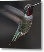 Male Anna Hummingbird In Flight Metal Print