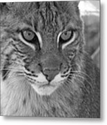 Male Bobcat - Black And White Metal Print by Jennifer  King