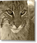 Male Bobcat - Sepia Metal Print