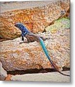 Male Bonaire Whiptail Lizard Metal Print