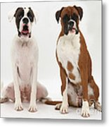 Male Boxer With Female Boxer Dog Metal Print