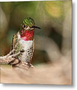 Male Broad-tailed Hummingbird Metal Print by Old Pueblo Photography