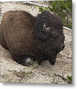 Male Buffalo At Hot Springs Metal Print
