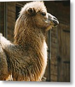 Male Camel Head Metal Print