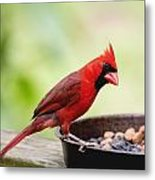 Male Cardinal Dinner Time Metal Print