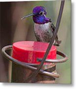 Male Costa Hummingbird Metal Print