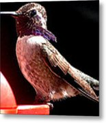 Male Costa Hummingbird On Perch Metal Print