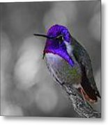 Male Costa's Hummingbird Metal Print by Old Pueblo Photography