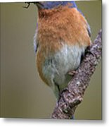 Male Eastern Bluebird With Spider Metal Print