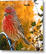 Male Finch In Autumn Leaves Metal Print