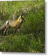 Male Fox   #3521 Metal Print