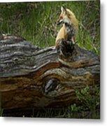 Male Fox   #3575 Metal Print