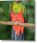 Male Golden-headed Quetzal Metal Print