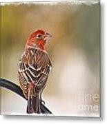 Male House Finch - Digital Paint And Frame Metal Print