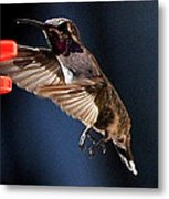 Male Hummingbird Anna's Coming In Too Low Metal Print