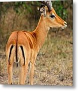 Male Impala With Horns Metal Print