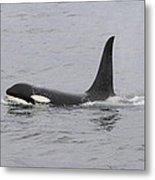 Male Killer Whale Metal Print