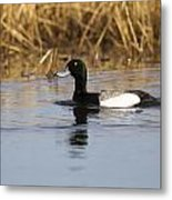 Male Lesser Scaup Metal Print
