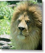 Male Lion Up Close Metal Print