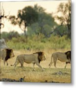 Male Lions At Dawn, Moremi Game Metal Print