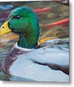 Male Mallard Duck  Metal Print