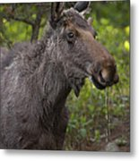 Male Moose   #5696 Metal Print