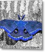 Male Moth - Brilliant Blue Metal Print